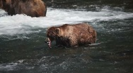 Adult Grizzly in river eating salmon -9 Stock Footage