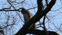 Jawning lynx sitting on a tree Stock Footage