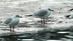 Common gulls Stock Footage