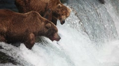Adult Grizzlies at falls looking for fish -11 - stock footage