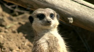 Stock Video Footage of Meerkat