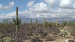 Tucson Arizona Saguaro Cactus Park pan down - stock footage
