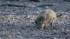 Young wild boar 5915 Stock Footage