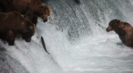 Adult Grizzlies at falls looking for fish -12 (salmon jumping) Stock Footage