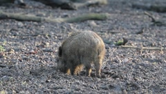 Young wild boar 5916 Stock Footage