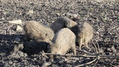 Young wild boars 5921 Stock Footage