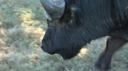 Buffel walking slowly Stock Footage