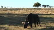 Buffel walking slow Stock Footage