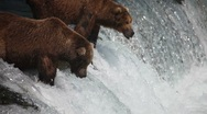 Adult Grizzlies at falls looking for fish -18 (salmon jumping) Stock Footage