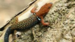 Collared Gecko (Gonatodes concinnatus) Stock Footage