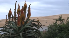 South African plant Stock Footage