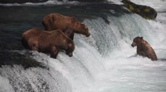 Adult Grizzlies at falls looking for fish -21 (salmon jumping) Stock Footage