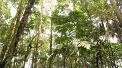 Tilt down from rainforest canopy to stilt roots of the palm (Iriartea deltoidea) Stock Footage