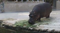 Loe The Hippo in Homosassa Stock Footage