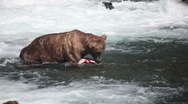 Adult Grizzly in river eating salmon -11 Stock Footage