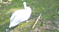 Swans in Homosassa HD Footage