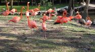 Flamingos in Homosassa Stock Footage