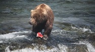 Adult Grizzly in river eating salmon -13 Stock Footage