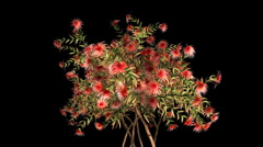 Exotic tree with red flowers growing, Alpha included Stock Footage