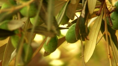 Close up of green olives in orchard Stock Footage