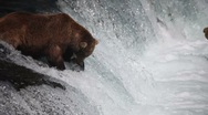 Stock Video Footage of Adult Grizzly at top of falls catches a fish -1