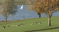 Canada Geese graze, dinghy sails on Rutland Water. - stock footage
