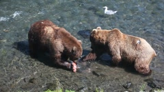 Adult Grizzlies in river eating salmon -17 Stock Footage