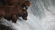 Adult Grizzlies at falls looking for fish -25 (salmon jumping) Stock Footage