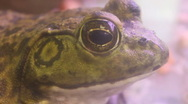 Frog's Face - Close Up - Shallow Depth of Field  Stock Footage