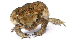 Cane Toad (Bufo marinus) Stock Footage