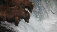 Adult Grizzlies at falls looking for fish -26 (salmon jumping) Stock Footage