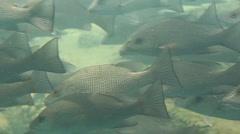 School of Large Fish At Homosassa Springs, Florida Stock Footage