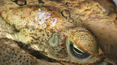 Cane Toad (Bufo marinus) with venom oozing out of parotid gland Stock Footage