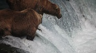 Adult Grizzlies at falls looking for fish -27 (salmon jumping) Stock Footage