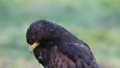 Juvenile Bald Eagle close up - stock footage