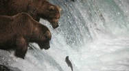 Adult Grizzlies at falls looking for fish -29 (salmon jumping) Stock Footage