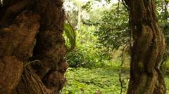 Hallucinogenic vine Ayahuasca (Banisopteris caapi, Malphigiaceae) Stock Footage