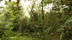 Hallucinogenic plant Amiruca Panga (Psychotria viridis, Rubiaceae) Stock Footage