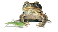 Stock Video Footage of Cane Toad (Bufo marinus)
