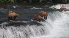 Adult Grizzlies at falls looking for fish -30 (pan of falls) Stock Footage