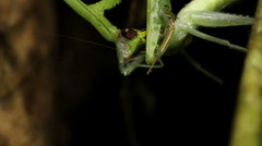 Praying Mantis feeding on a large katydid at night 3. - stock footage