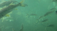 School of Large Fish At Homosassa Springs, Florida Stock Footage