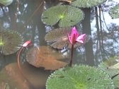Stock Video Footage of Tu Dam Pagoda, waterlily