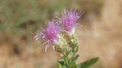 Desert flower Stock Footage