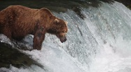 Adult Grizzly at falls looking for fish -37 (salmon jumping) Stock Footage
