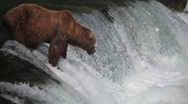 Adult Grizzly at falls looking for fish -39 (salmon jumping) Stock Footage