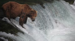 Adult Grizzly at falls looking for fish -40 (salmon jumping) Stock Footage