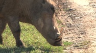 Warthog eating grass Stock Footage