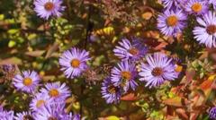 purple flowers bee track - stock footage