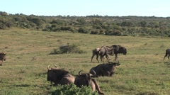 A group of wildebeast Stock Footage